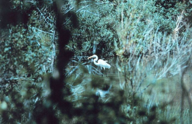 An egret fishing in a tidal pond Picture