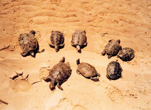 Mass mortality of young diamondback terrapins Picture