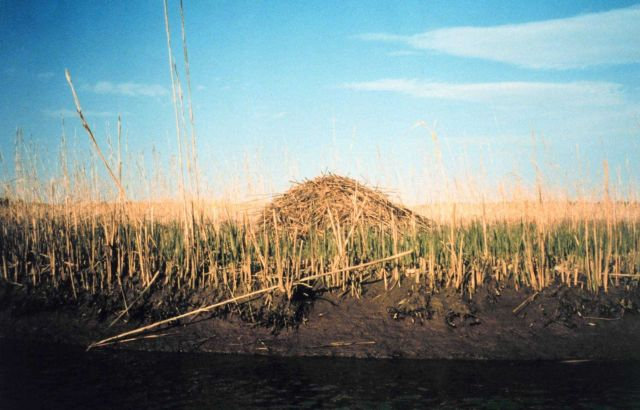 A muskrat hut in a middle Patuxent river marsh Picture