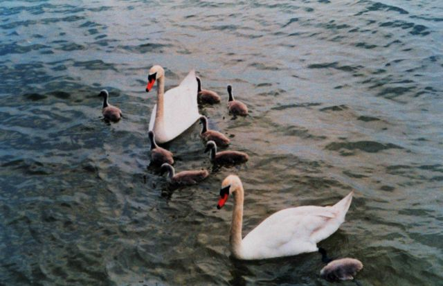 Mute swans with 8 cygnets Picture