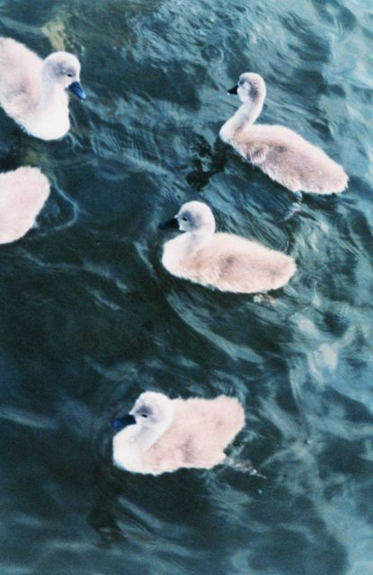 5 mute swan cygnets Picture
