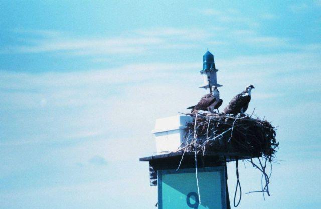 Osprey - Panion haliaetus Picture