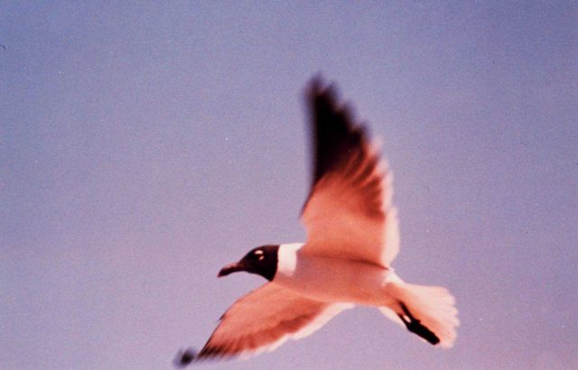 A sea gull in flight Picture