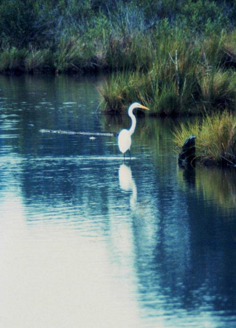 A Great Egret. Picture