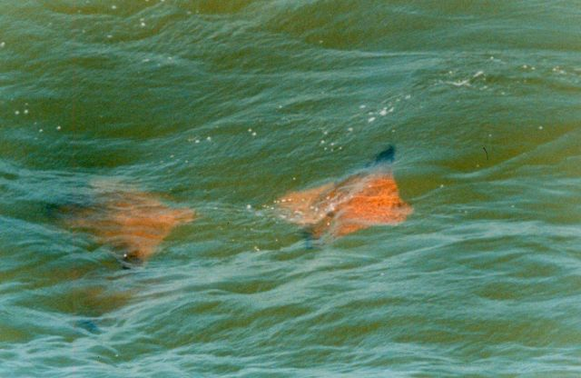 Schools of Cow-nosed Rays - Rhinoptera bonasus - are a familiar sight in the Chesapeake Bay. Picture