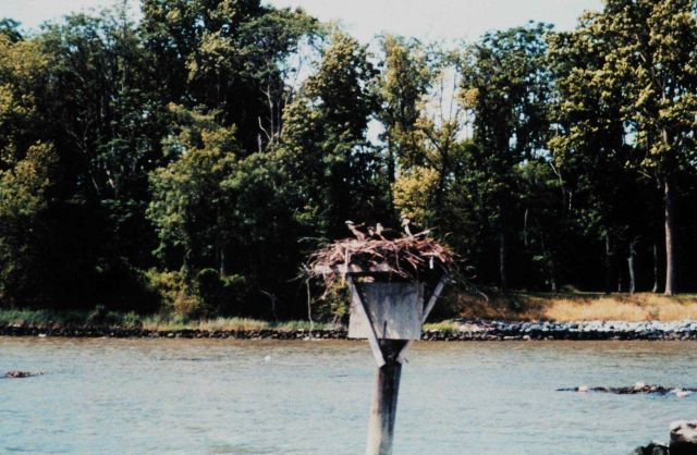 Four osprey - Pandion haliaetus - on nest off of the University of Maryland Horn Point Environmental Laboratory on the Choptank River. Picture