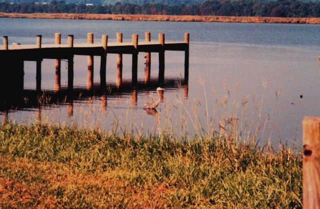 Great Blue Heron fishing along the Patuxent River. Picture