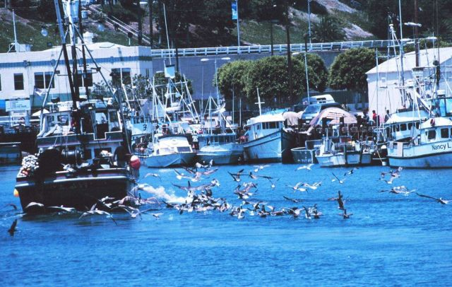 Pelican's seeking the proverbial free lunch as they follow a fishing vessel Picture