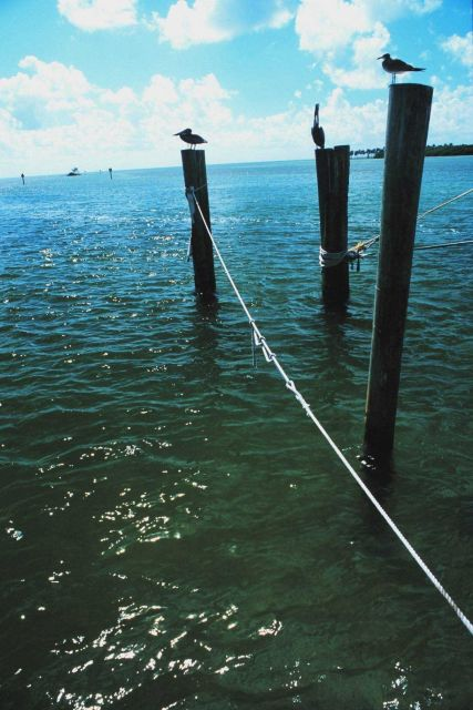 Pelicans and gulls relax on handy pilings Picture