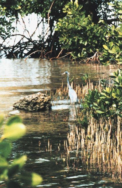 A Great Blue Heron waits patiently for dinner along a mangrove shoreline. Picture