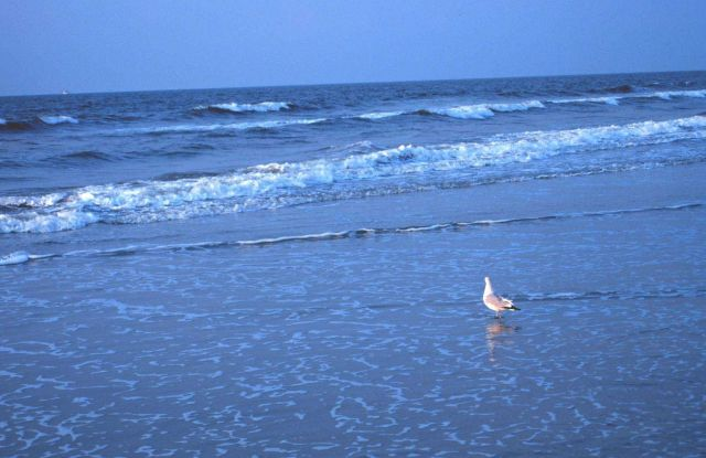 A seagull wading in the surf near the Edwin S Picture