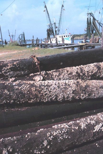 Shrimp boats viewed over old barnacle-encrusted pilings at Conn Brown Harbor Picture