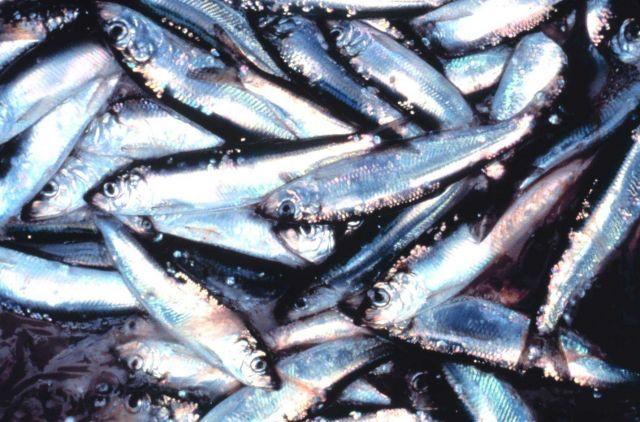 Dead fish Picture