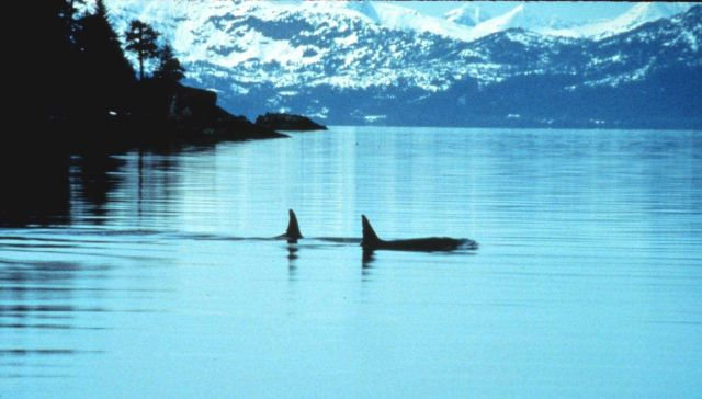 Two killer whales in Prince William Sound Picture
