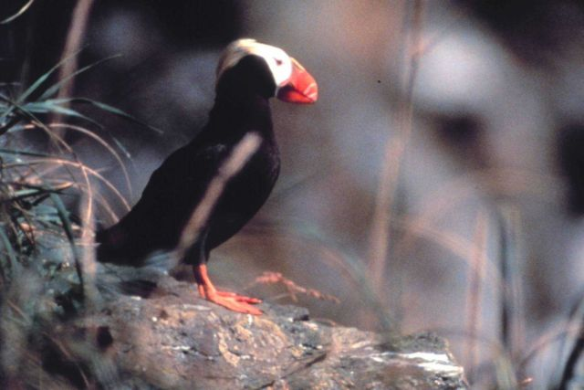 Tufted puffin Picture