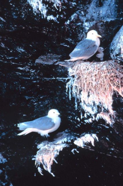 Black-legged kittiwakes with chick Picture