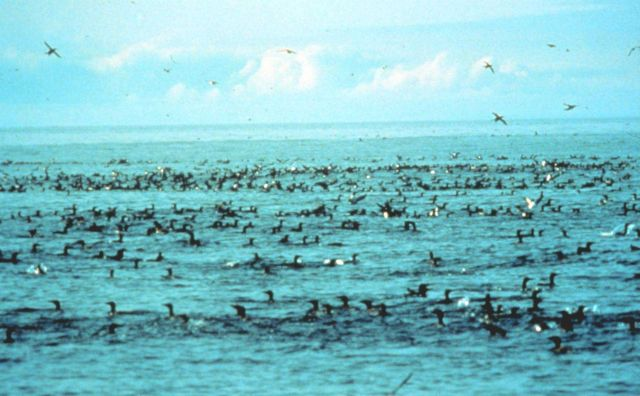 Marine birds feeding Picture