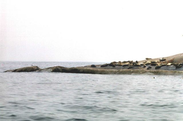 Harbor seals on Muscle Ridge Island. Picture