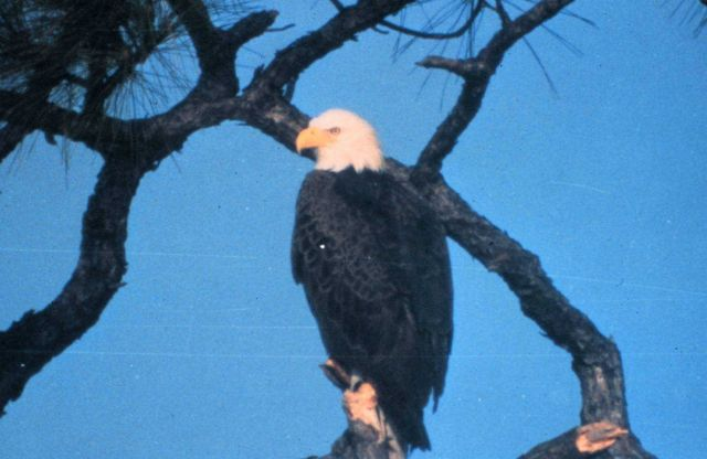 The bald eagle is one of 14 threatened and endangered species making their homes within Canaveral National Seashore. Picture
