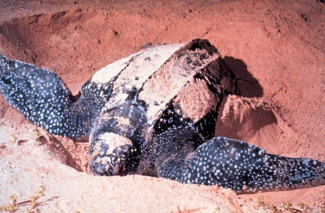 Leatherback sea turtles nest occasionally on the beach at Canaveral National Seashore Picture