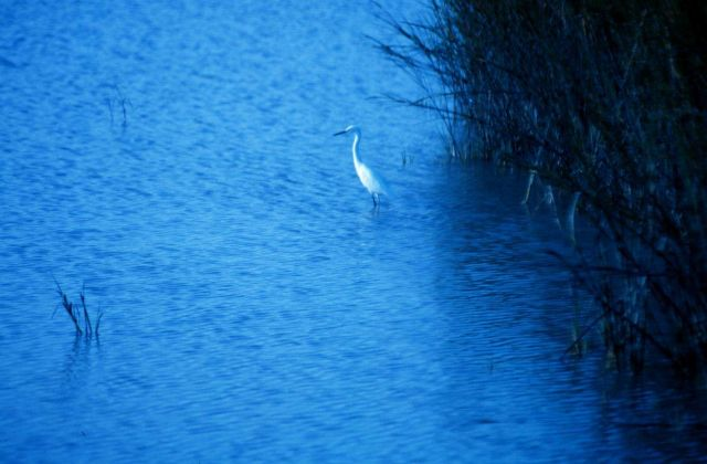 A great white egret in the tidal waters of Charleston harbor. Picture