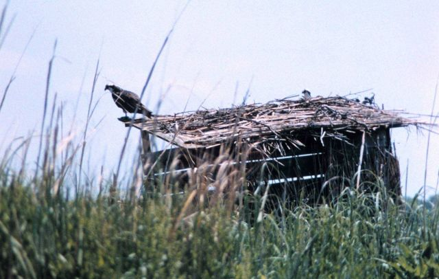 Ospreys nesting along a Patuxent River duck blind. Picture