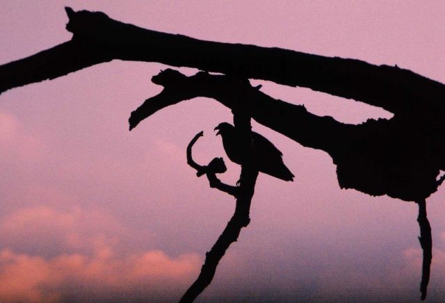 Evening silhouette of an osprey perched in a dead tree. Picture