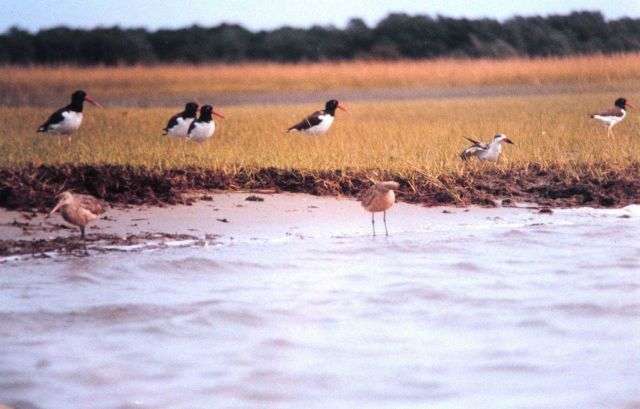 American Oystercatchers are the black and white birds with the reddish-orange beaks. Picture
