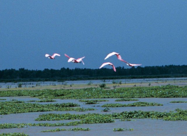 Flight of roseate spoonbills flying above the Everglades. Picture
