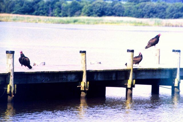 Turkey vultures on a Patuxent River pier. Picture
