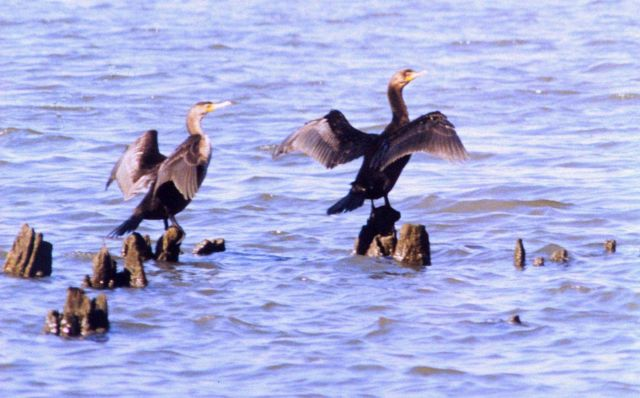 Cormorants drying their wings on old steamboat landing piles. Picture