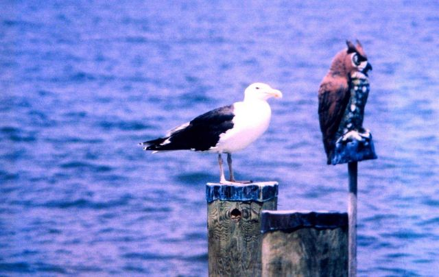 A Great Black Backed Gull on a piling Picture