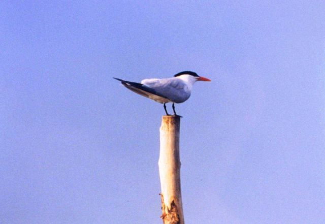 A Caspian Tern perched on a pole. Picture