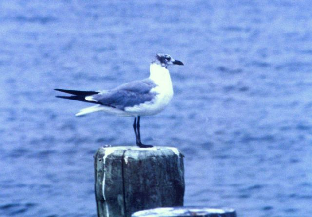 A Laughing Gull. Picture