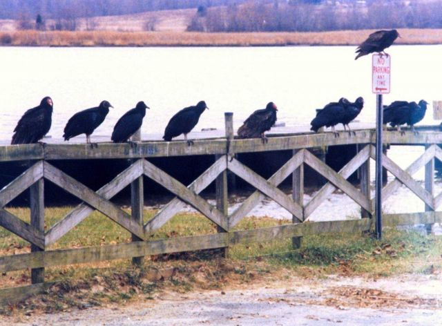Turkey Vultures and Black Vultures taking a break from searching for carrion on a Patuxent River fence. Picture