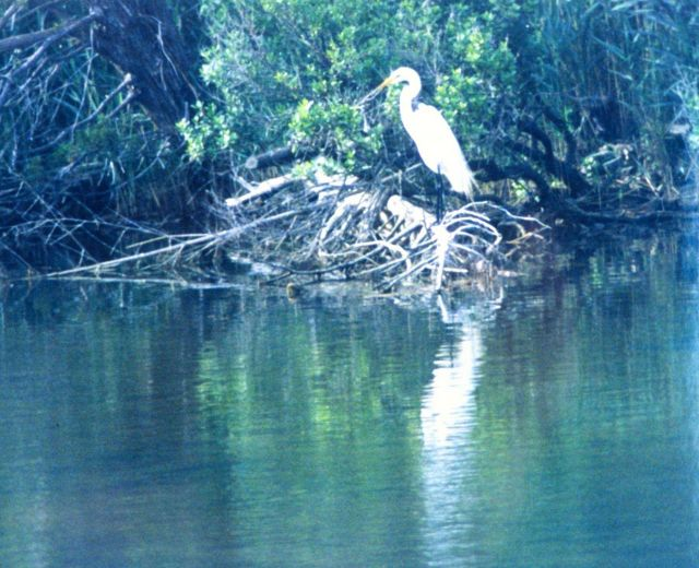 A Great Egret along the bank of the Patuxent River. Picture