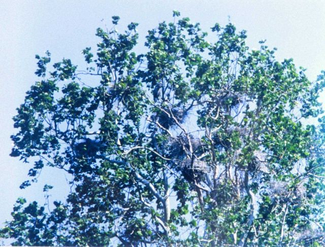 Great Blue Heron nesting area, or as it is called, a heronry. Picture