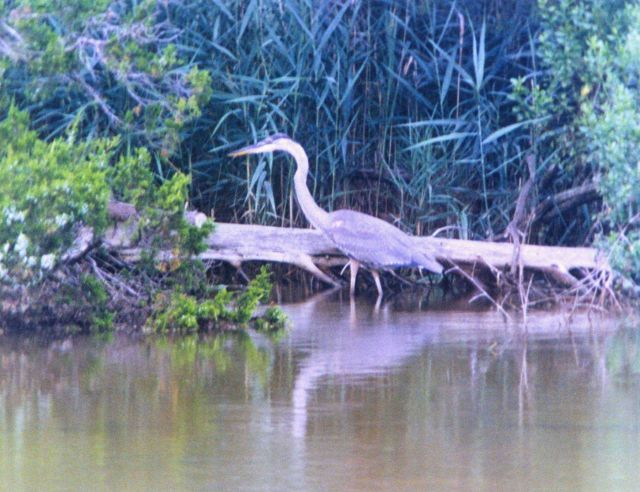 A Great Blue Heron on the banks of the Patuxent River. Picture