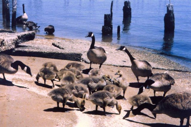Resident Canada Geese - the ones who