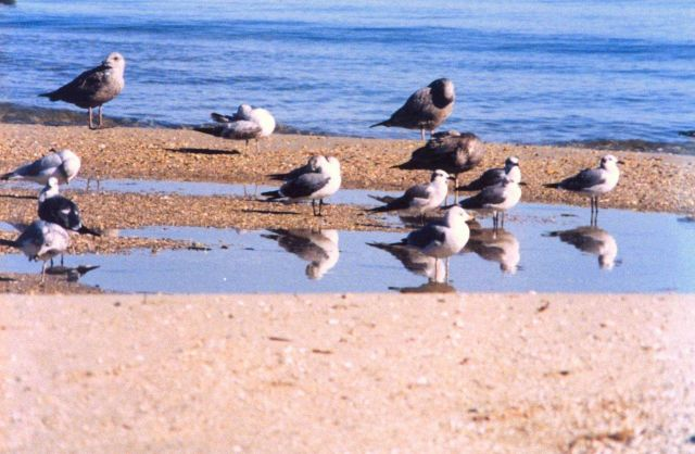 Sea gulls on a Patuxent River beach. Picture