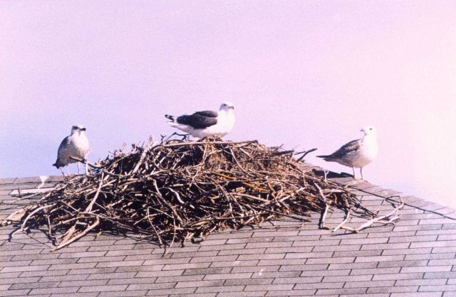 Sea gulls on a deserted osprey nest. Picture