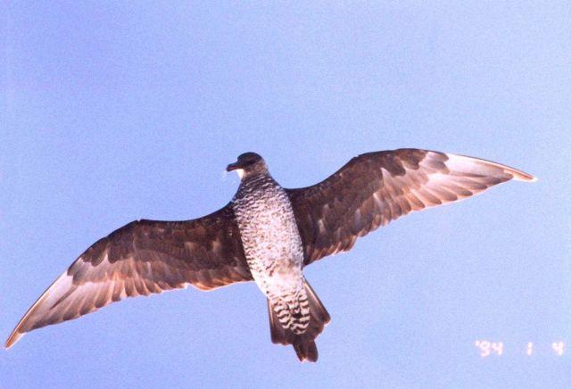 Sea bird hovering overhead. Picture