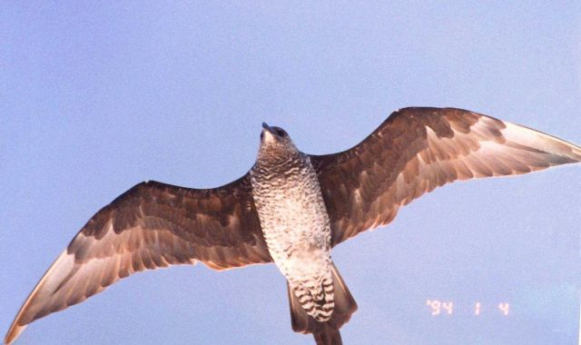 Sea bird hovering overhead. Picture