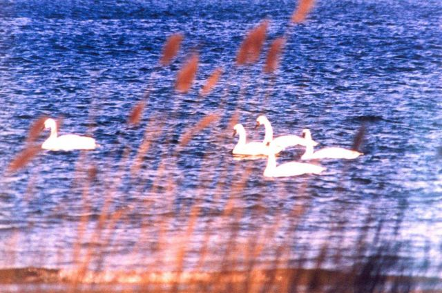 Tundra swans near the mouth of the Patuxent River Picture