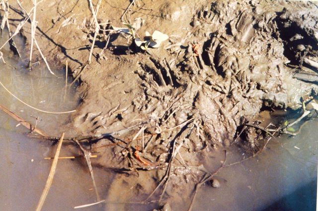 Footprints in the mud of a Patuxent River marsh, possibly muskrat. Picture