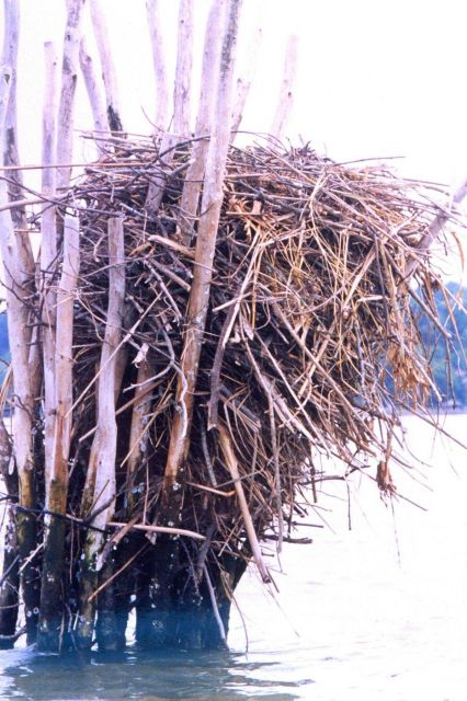 Closeup of an osprey nest built amid pound net posts. Picture
