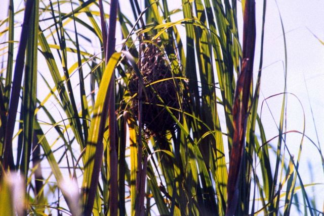 Bird nest, possibly built by a marsh wren, attached to marsh grass. Picture
