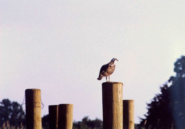 Osprey on pier piling. Picture