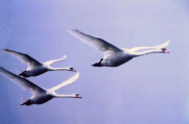 Mute swans in flight Picture