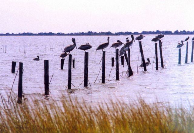 Pelicans on a post. Picture
